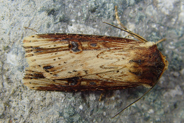 Common Garden Moth Identification