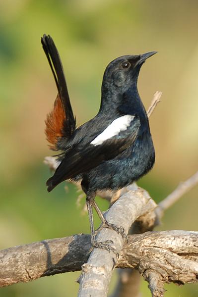 candolim birds  goa february 2008